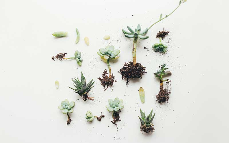Forgetting to repot your succulents