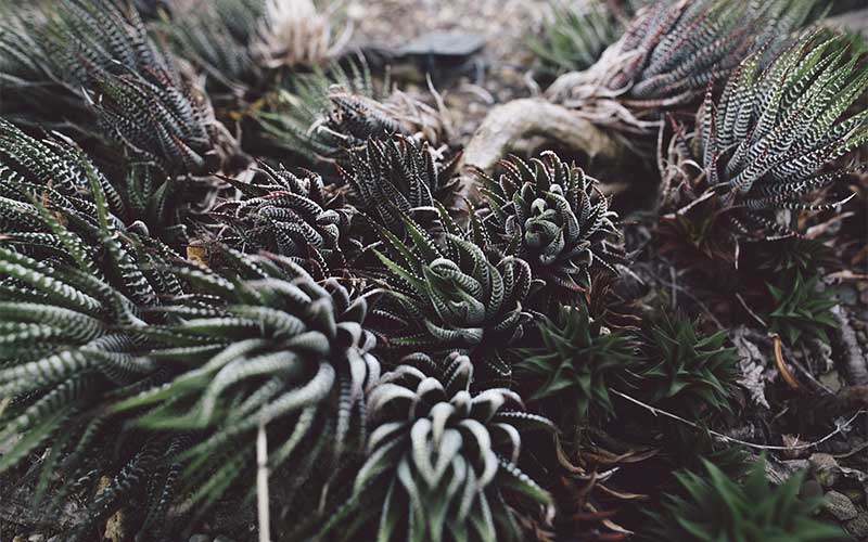 Humans unknowingly spread invasive succulents