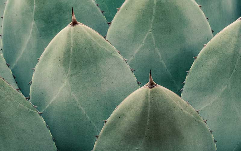 Information about Agave Plants