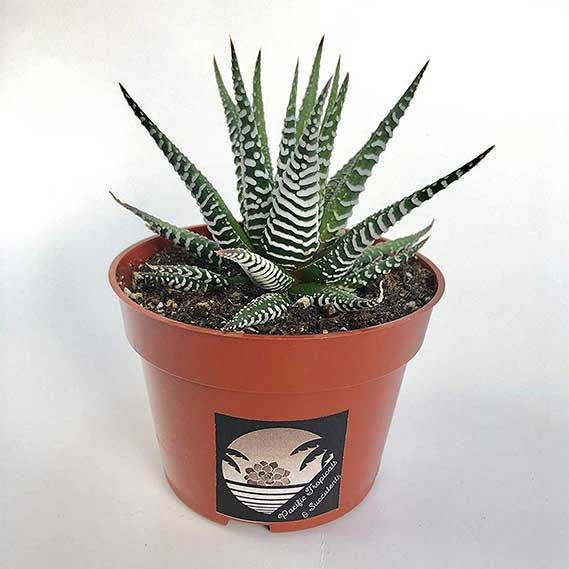 Pacific Tropicals &Succulents -Zebra Haworthia
