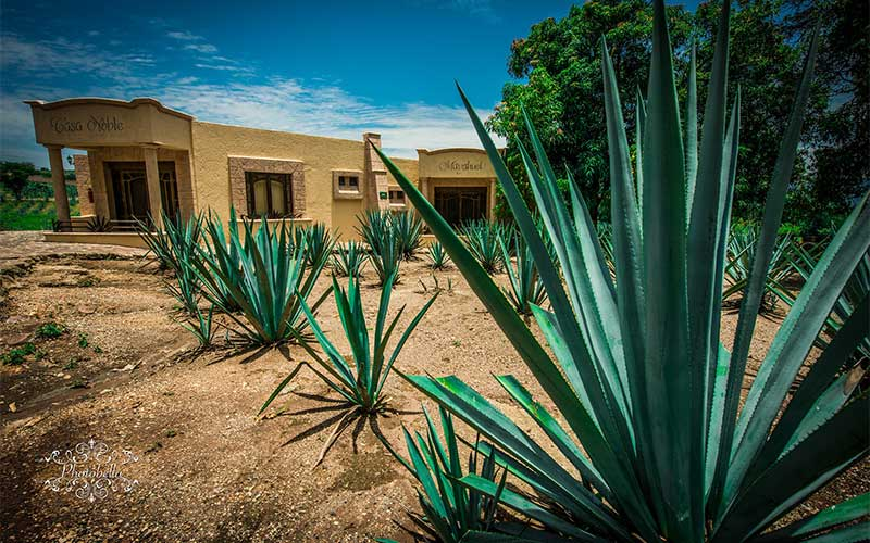 Protect yourself from spines and exposure to the agave sap