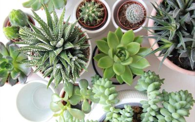 Where to Buy Succulents Online