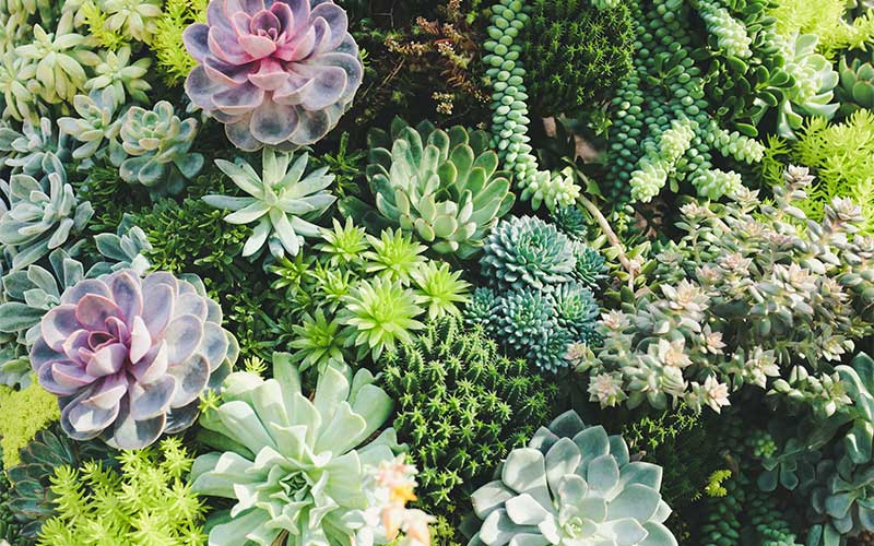 Some succulents can be used for leaf propagation