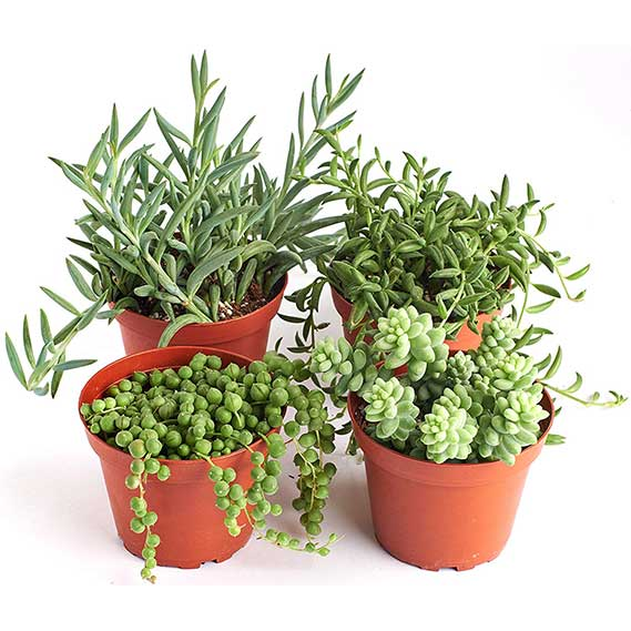 Hanging Live Succulent Plants, Hand Selected Pearls, Bananas, String of Fishhooks & Burrito Sedum Variety