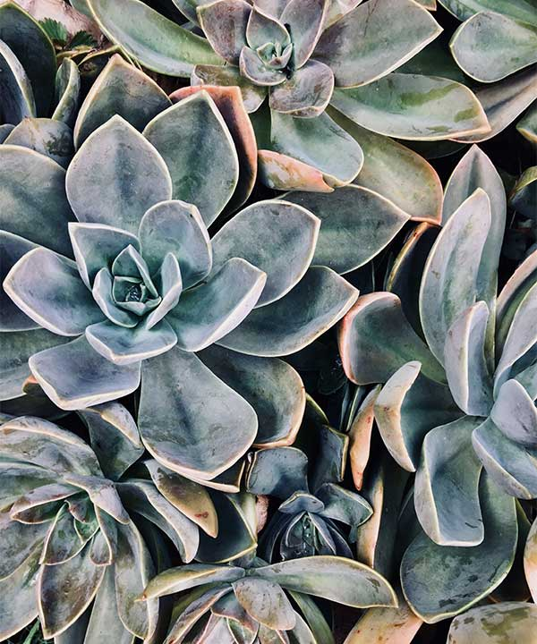 To answer the question, are succulents poisonous to cats?