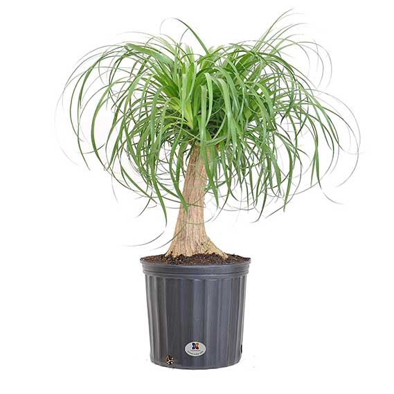 United Nursery Ponytail Palm Tree