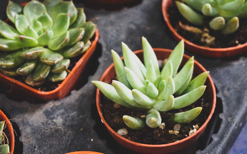 What Are the Most Popular Types of Succulents?