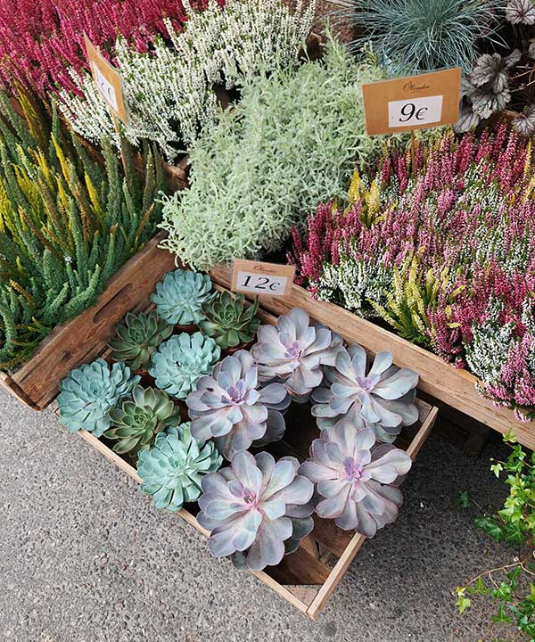 What Does Succulent Signify in Other Cultures?
