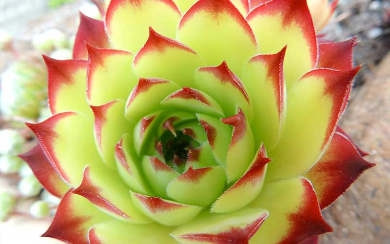 Why Do Succulents Die After Blooming?