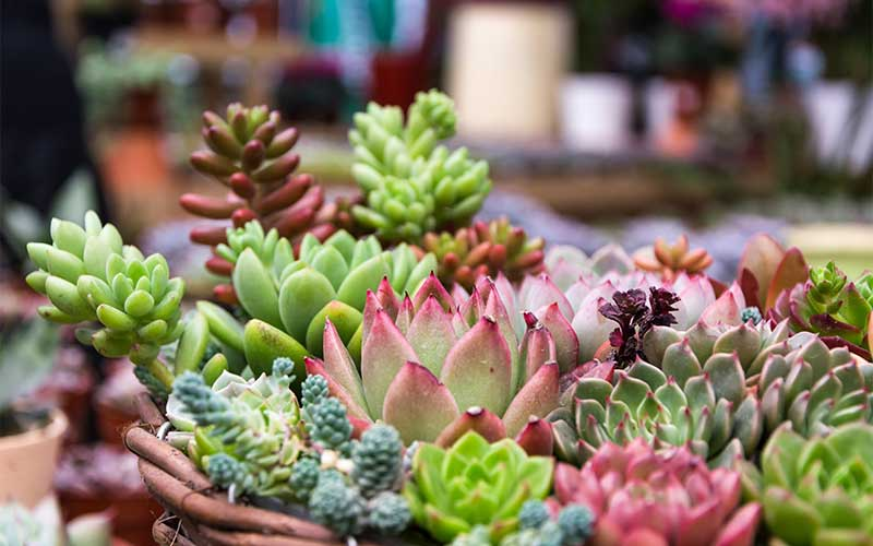 succulents because of their beautiful and vibrant colors