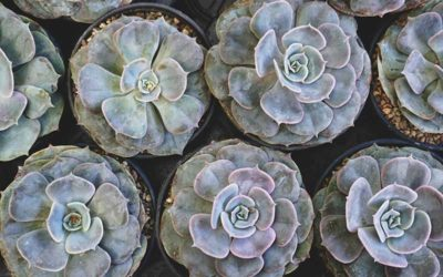 A Guide on How to Care For Echeveria Perle Von Nurnberg