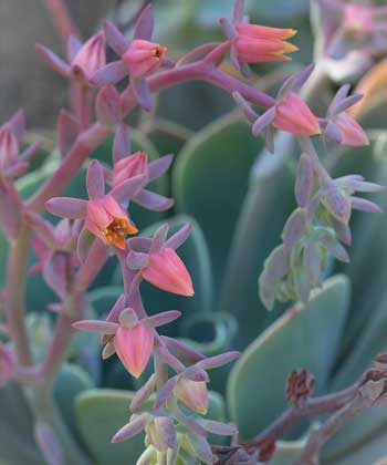 How Much Light Does Echeveria Requires?