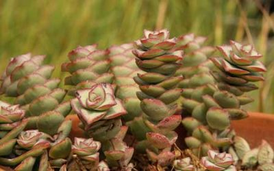 Tips for Growing Crassula Rupestris