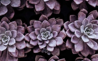 How to Care for Echeveria Purple Pearl