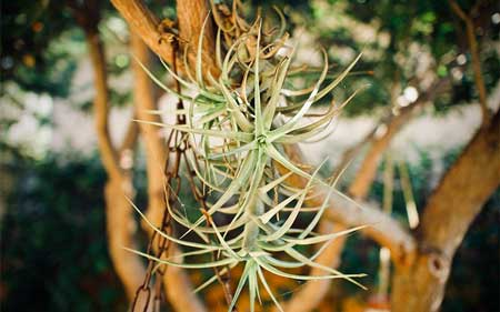 How to Grow Tillandsia Ionantha Fuego in Glass Globes