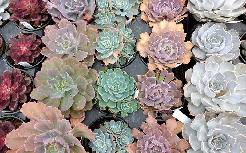 Learn About the Types of Echeveria and How to Care for Them