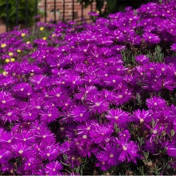 DELOSPERMA PURPLE ICE PLANT FLOWER SEEDS