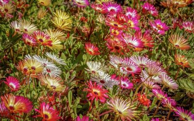 Learning How to Grow and Care for Delosperma Succulents