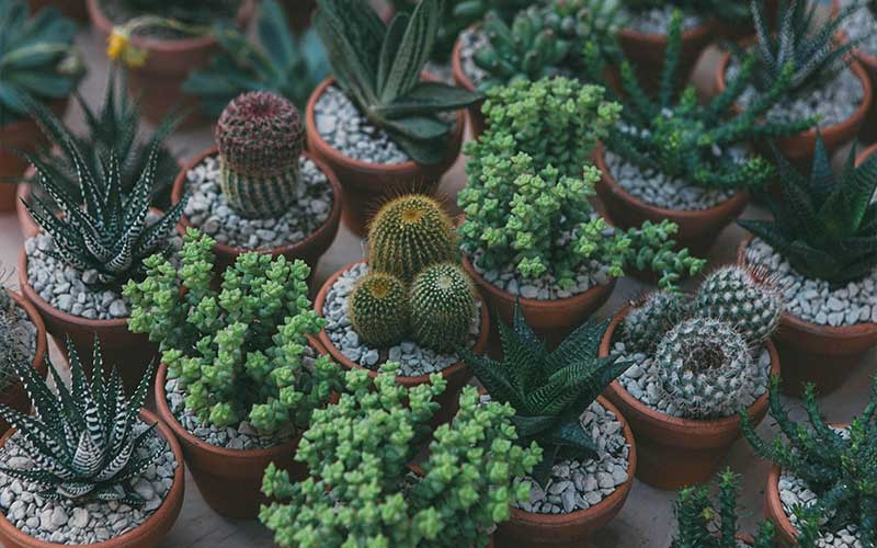 Identifying Succulents and Cacti