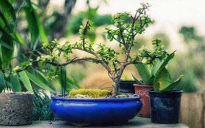 Learn How to Make A Succulent Bonsai