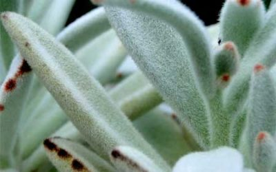 Tips for Growing Panda Plants