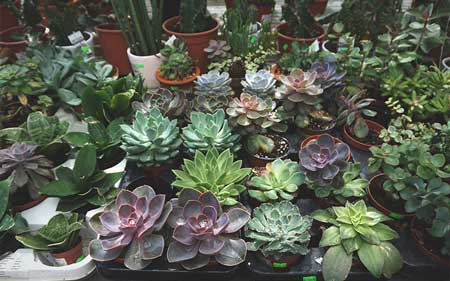 What Are Some Examples of Succulents That Are Not Considered as Cacti?